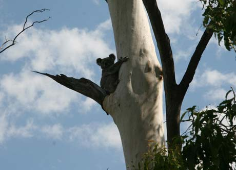bush walk koala bestbrook resort farmstay